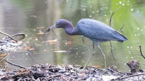 Finding Snacks, Little Blue Heron