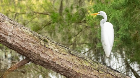 Over A Creek, Egret