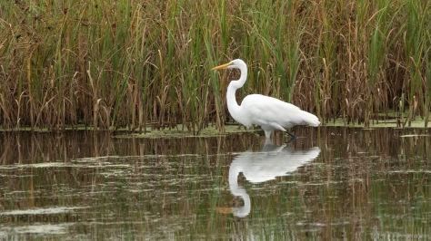 Along The Reeds, Great Egret