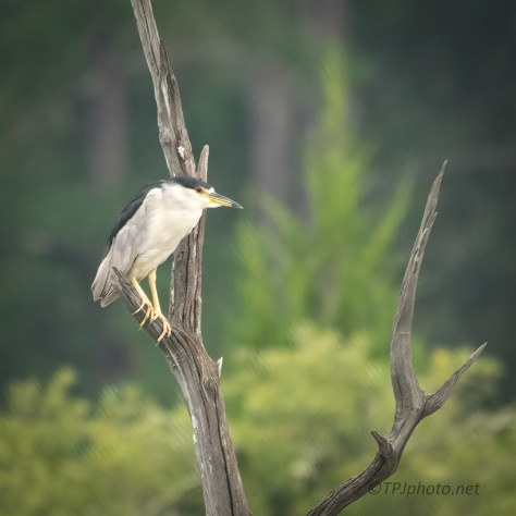 Night Heron Over A Salt Marsh