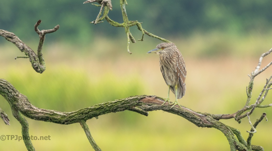 Hanging About, Night Heron