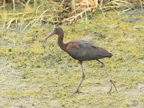 Finally A Glossy Ibis