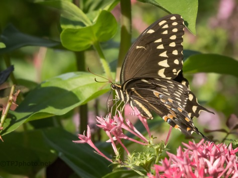I Missed This, Swallowtail