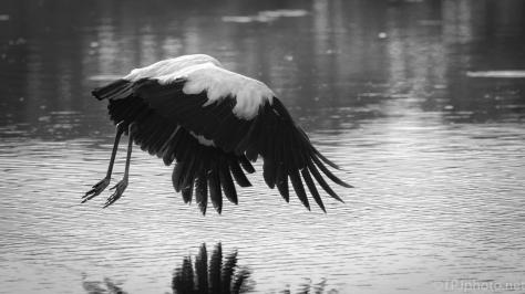 Wood Storks, Black And White