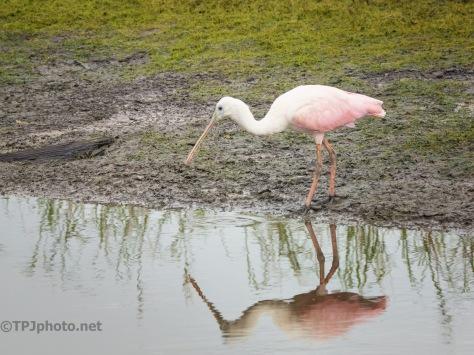 Spoonbill, Wildlife Area