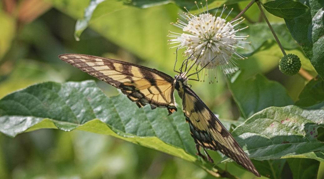 Swallowtail On Button Bush