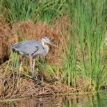 Great Blue At A Rice Field