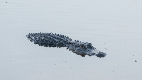 Checking Us Out, Alligator