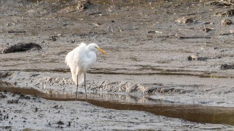 Salt Marsh Egret