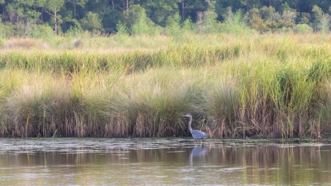 Great Blue, Marsh Landscape
