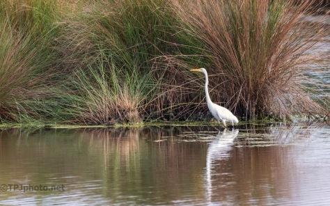 Marsh Grass And Egret