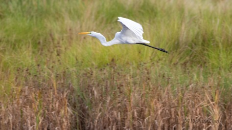 Leaving The Flock, Egret
