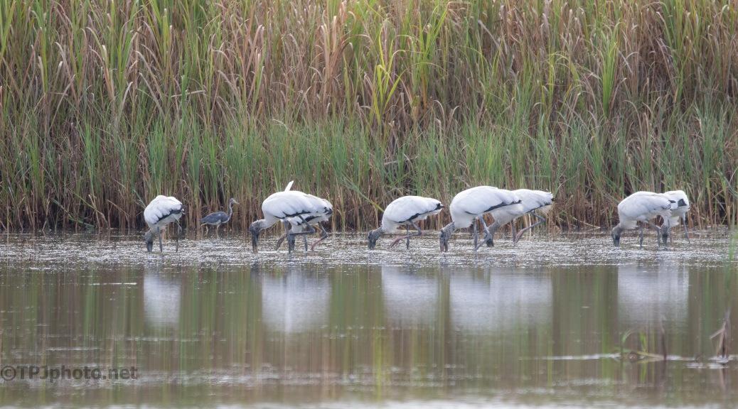 Line Of Wood Storks