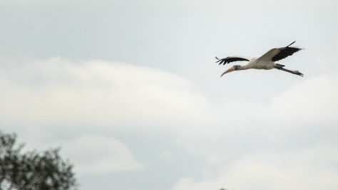 Wood Stork Joining Others