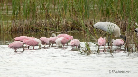 Spoonbills Took Over