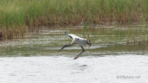 Moving Up The Marsh, Wood Stork