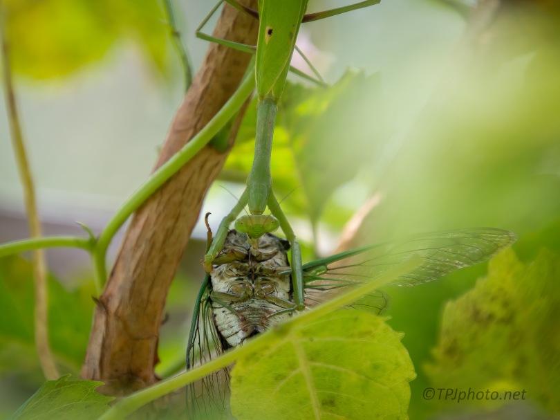 Mantis - Cicada