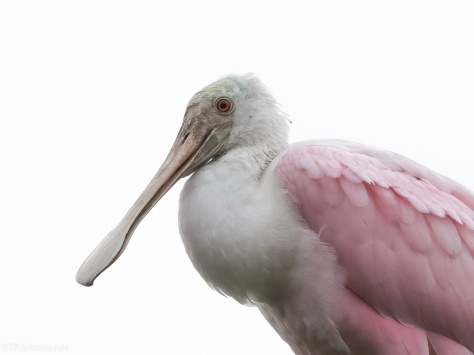 Spoonbill Up Close And Personal