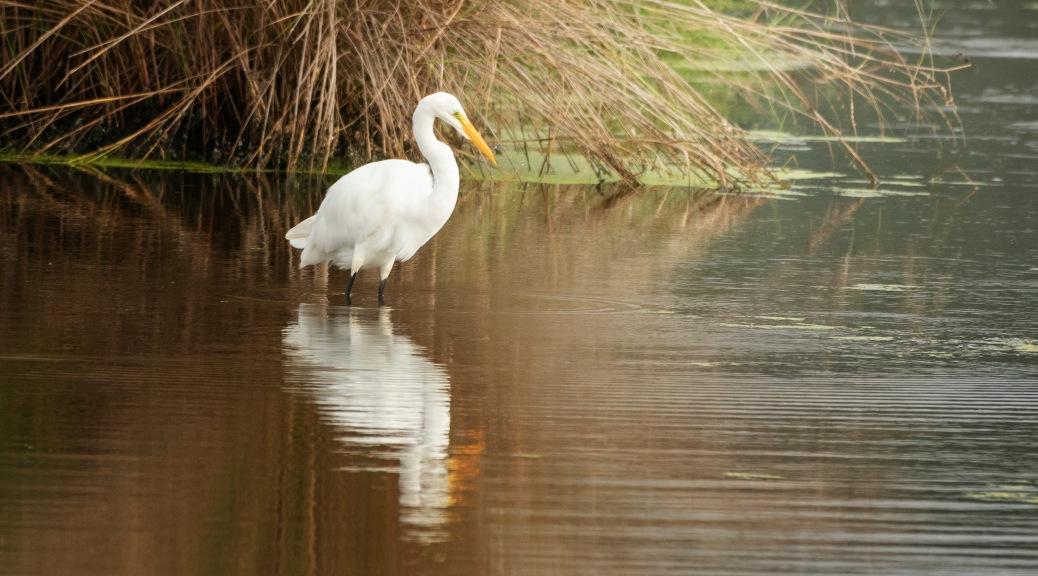 Gold Fall Reflections, Egret