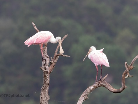 A Spoonbill Roost