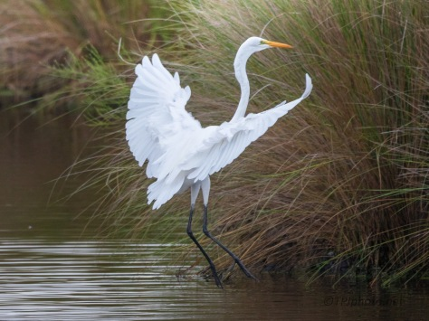 Elegant Landing, Great Egret