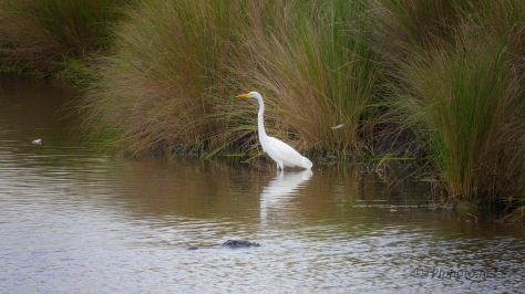 Walking A Marsh, Great Egret