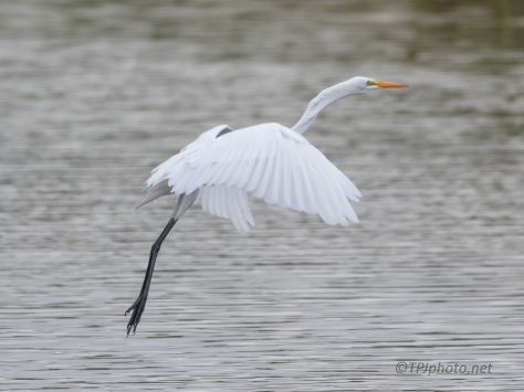 The Jump, Great Egret
