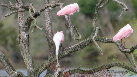 Couldn't Help Himself, Spoonbill