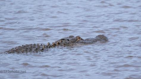 He Didn't Like Me Following, Alligator