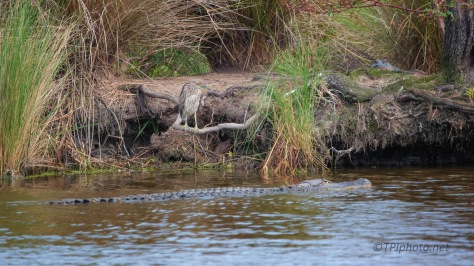Night Heron With The Alligator(s)