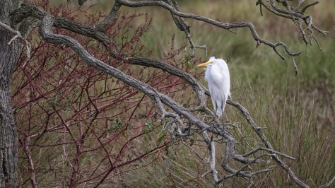 Great Egret In Thick Brush
