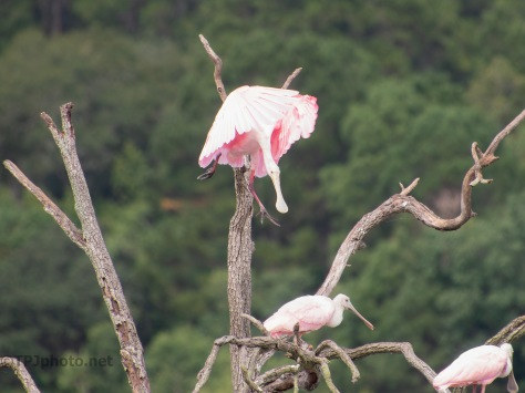 Couldn't Help Himself, Spoonbill (2)