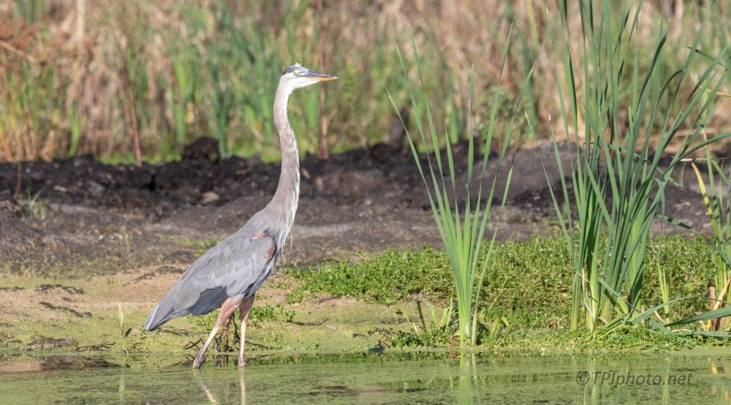Looking A Bit Territorial, Heron