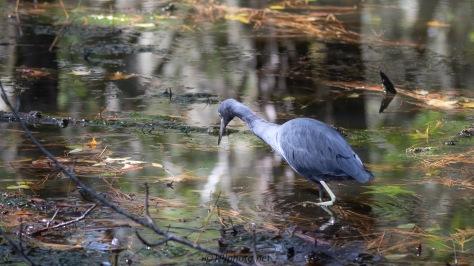 Poking Around The Swamp, Little Blue