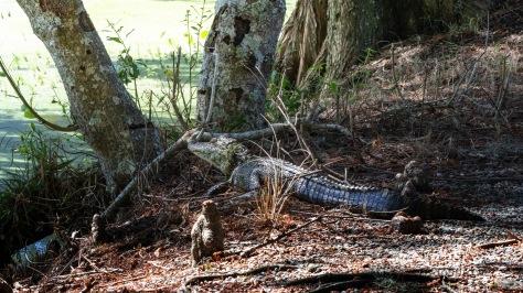 Sharing Space, Alligator