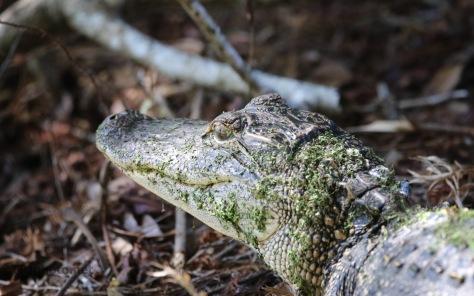 On The Trail, Alligator