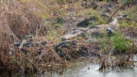 Mom Is Still Around, Alligator