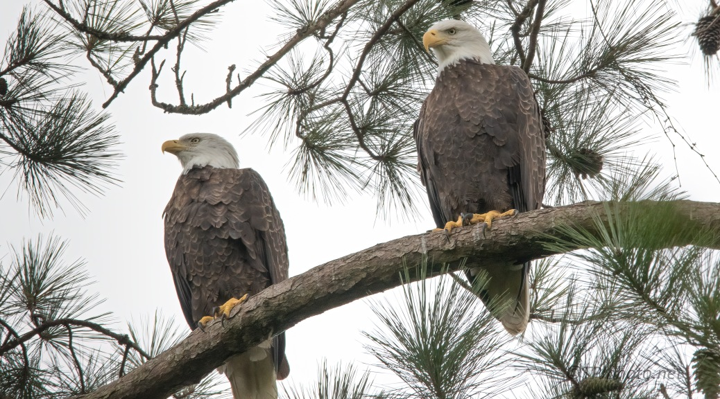Pair Near Their Nest, Bald Eagle