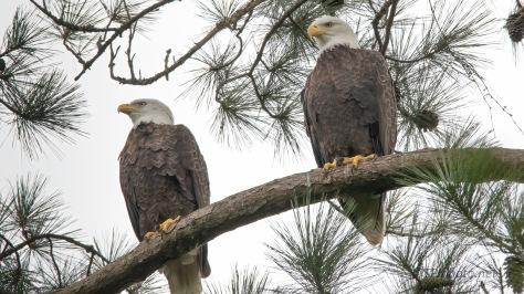 Pair Near Their Nest, Bald Eagle