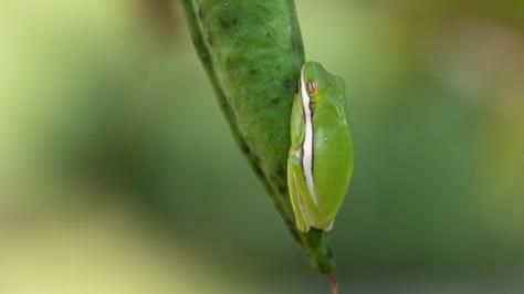 Seed Pod Hijack, Tree Frog