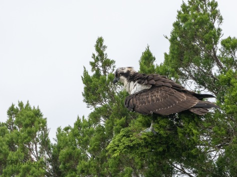 Osprey In A Pine