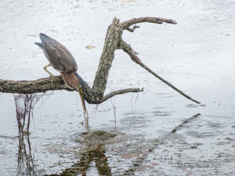 Salad With His Meal, Green Heron