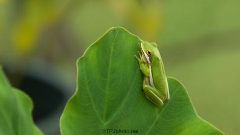 Little Guy Hanging On, Tree Frog