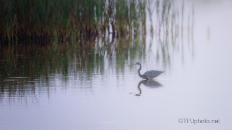 No Light, Tricolored Heron