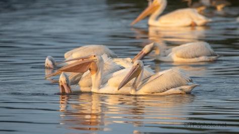 Pelicans In The Golden Hour