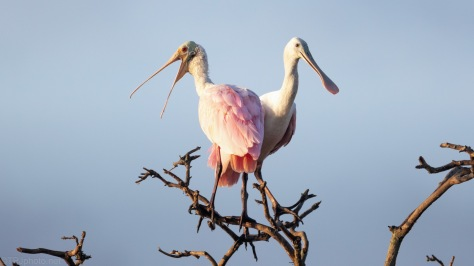 Sharing Space, Roseate Spoonbill
