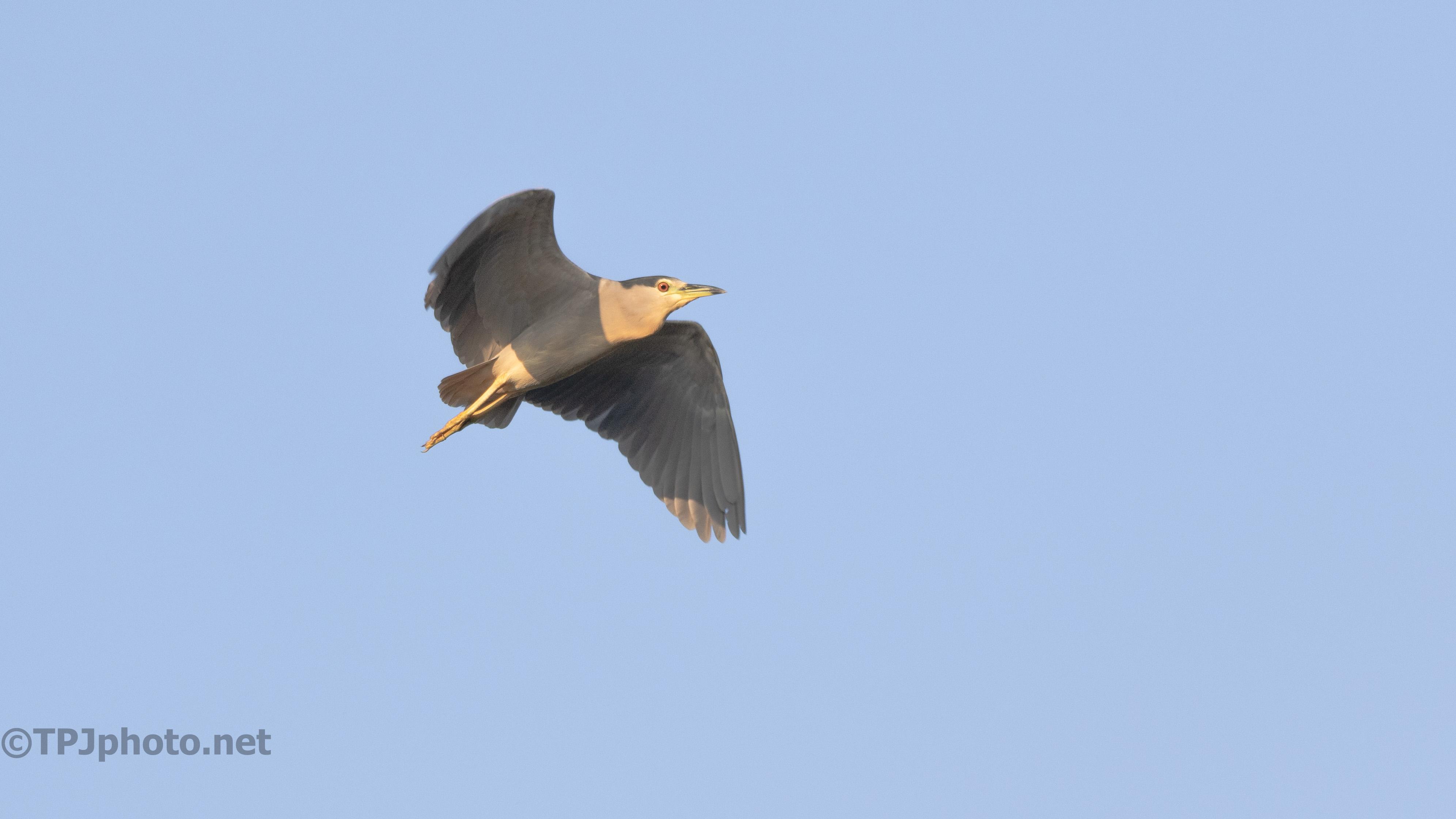 Fly Around, Black-crowned Night Heron