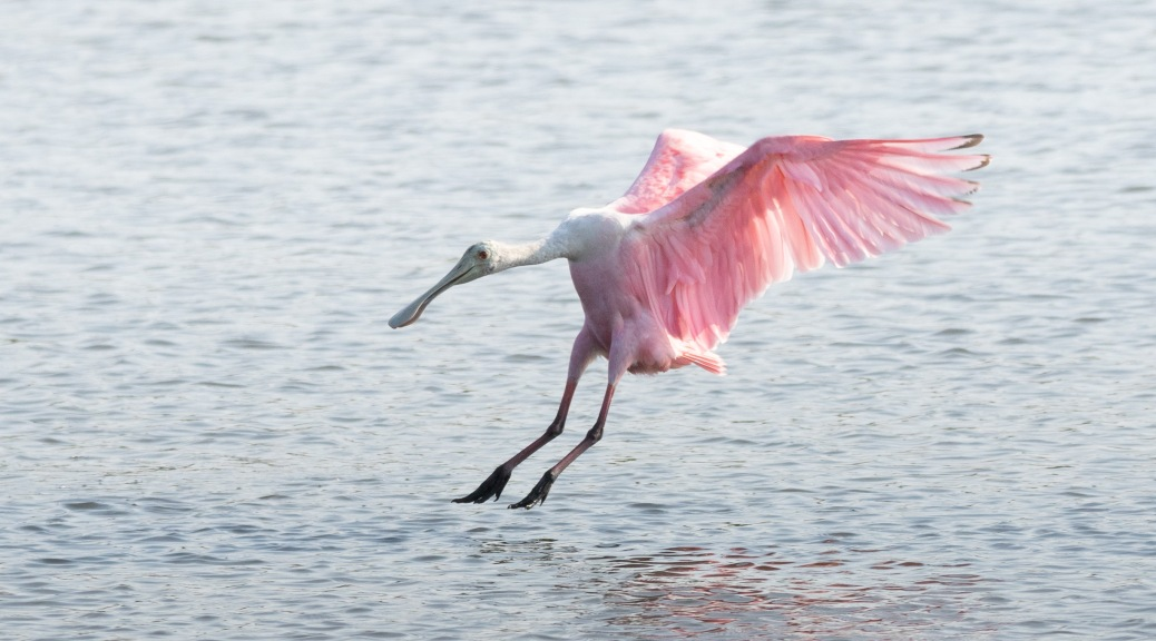 Spoonbill Starting The Day