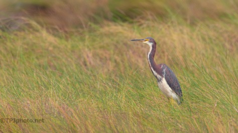 Tall Grass, Heron