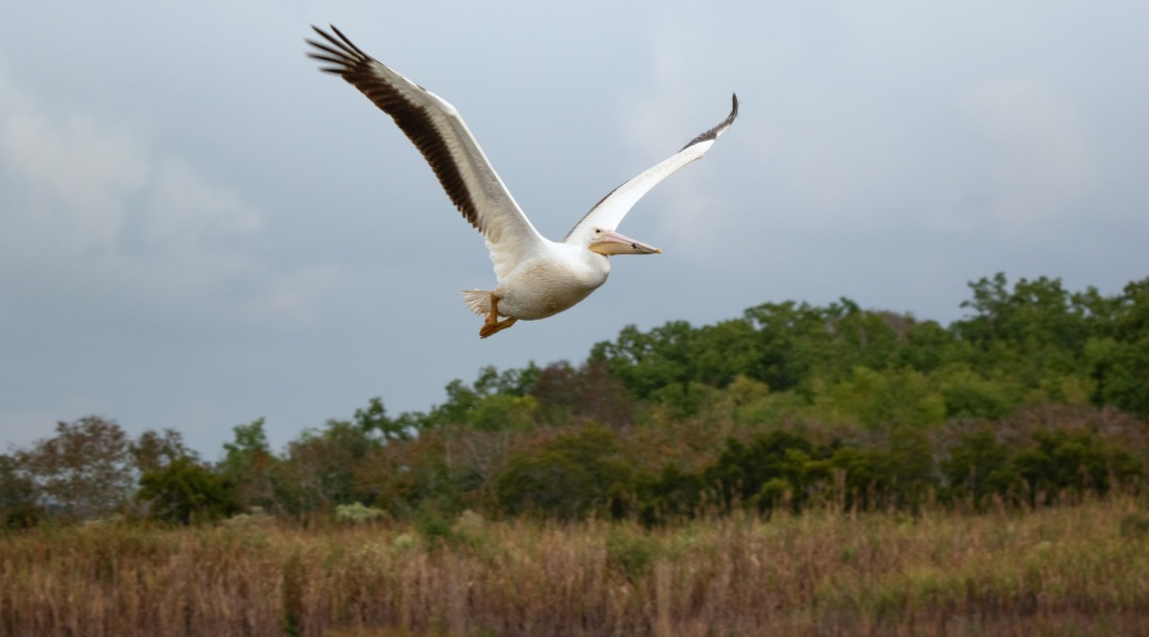 Fly By, White Pelican